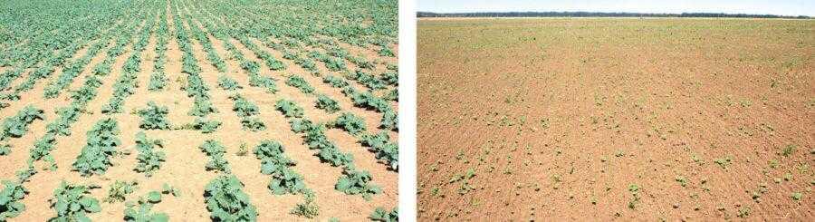 На фото зліва: поле засіяно відразу після дощу (урожай 4 т/га, термін сівби 4 серпня, дворазове внесення Фолікура). На фото справа – поле засіяно пізніше на 2 тижні (урожай 2,5 т/га, термін сівби 15 серпня)