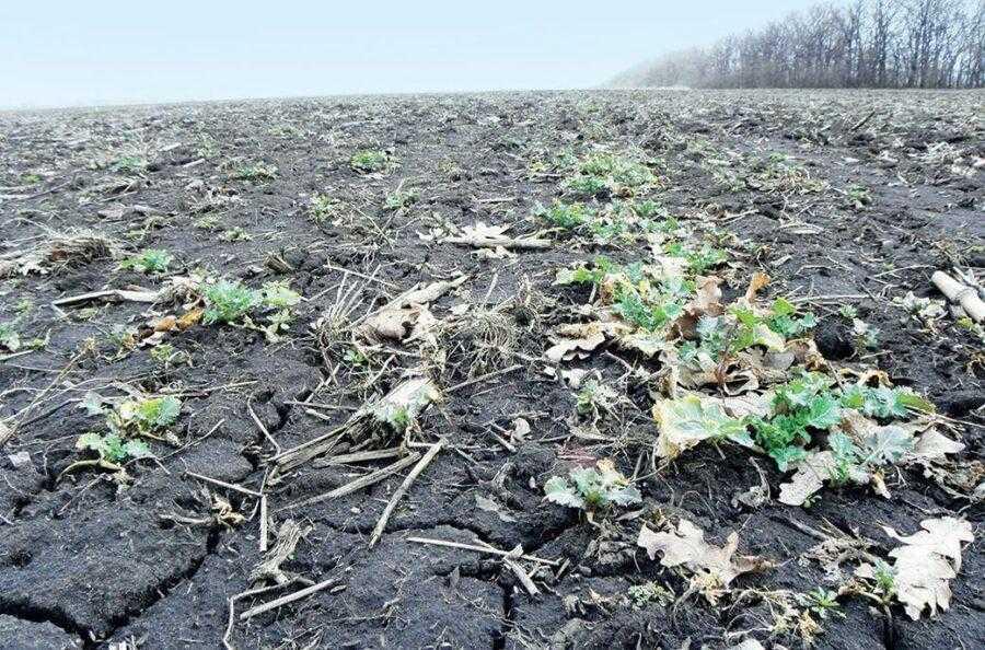 На цьому полі через ґрунтову посуху сходи озимого ріпаку з'явилися дуже пізно. Спостерігалися слабкий розвиток і загибель рослин в осінній період через брак вологи. В підсумку навесні поле було закультивовано