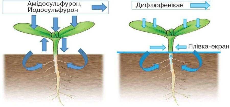 Особливості дії компонентів гербіциду Чеккер® Хtend. Поглинання діючих речовин та їх рух в рослині