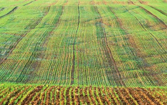 Особливості перезимівлі рослин ячменю озимого залежно від строків сівби