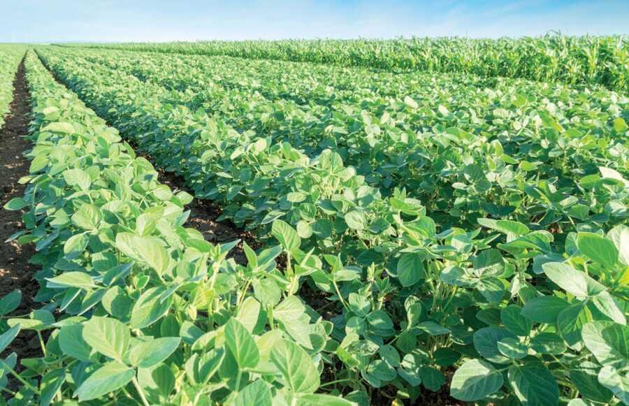 Порада експерта: заходити у сівозміну кукурудза-соя. Так вже роблять успішні господарства. До такої системи змусить час та економіка