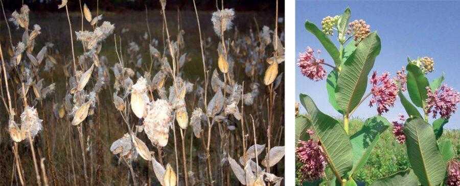 Рис. 10. Существуют сорняки, которые имеют природную устойчивость к Раундапу. Для их уничтожения обычной нормы препарата недостаточно. На фото: ваточник сирийский (Asclepias syriaca). Этот сорняк можно уничтожить только баковой смесью Дикамба + Раундап + Сильвет Голд