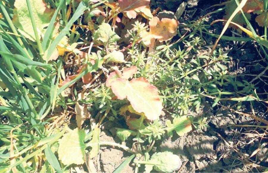 Рис. 2. Восени у бур'янів формуються розетки і коренева система