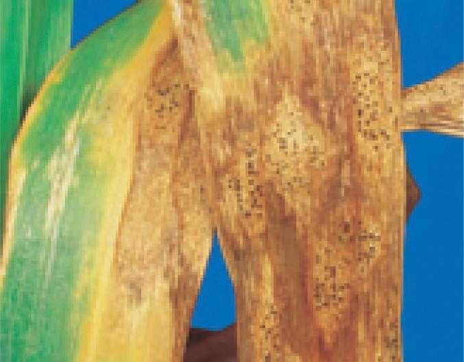 Septoria tritici на листку пшениці з типовими овальними чорними пікнідами