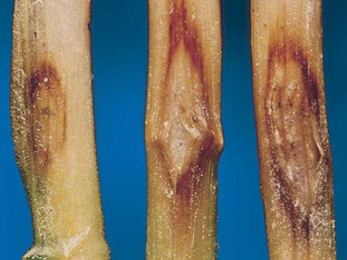 Симптоми ураження основи стебла з різним ступенем розвитку церкоспорельозу