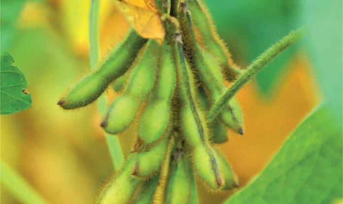 Технология выращивания ГМ-сои