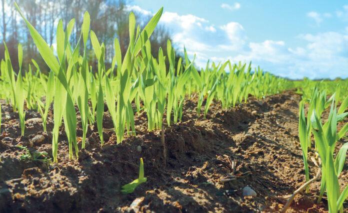 Універсальний гербіцид для захисту зернових восени