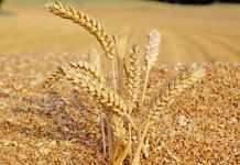 Відомо, як вплинули погодні умови на якість зерна пшениці врожаю 2020 року