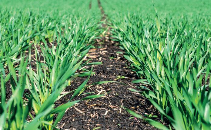 Застосування восени гербіциду Еллай® Супер на озимІй пшениці та ячмені