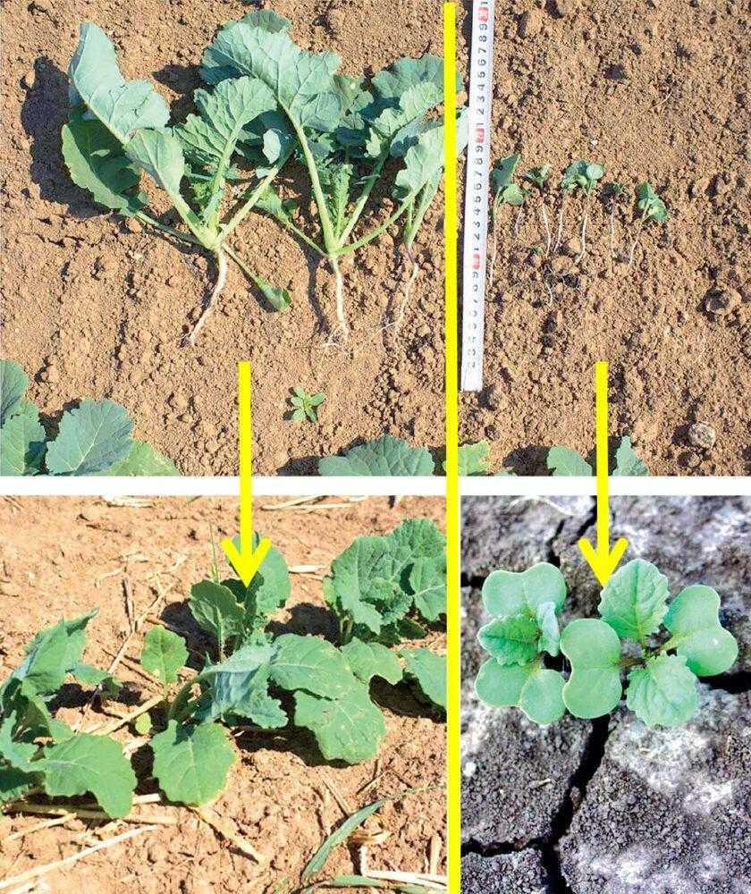 Зліва – рівень розвитку рослин, які було посіяно відразу після дощу (урожай 4 т/га, термін сівби 4 серпня, дворазове внесення Фолікура); справа – рівень розвитку рослин, висіяних пізніше на 2 тижні (урожай 2,5 т/га, термін сівби 15 серпня)