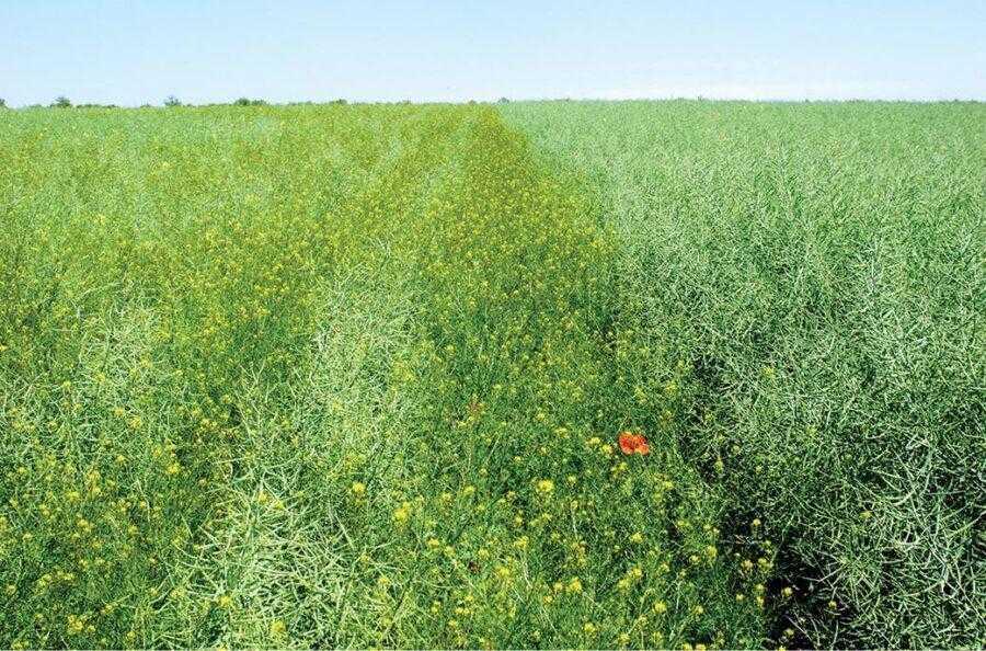 Зліва видно велику кількість бур'янів, що є наслідком порушення системи боротьби з бур'янистою рослинністю. Справа – чисте поле, на якому вчасно було внесено Clearfield-гербіцид. Різниця в урожайності становила понад 2,5 т/га (Одеська область, 2018)