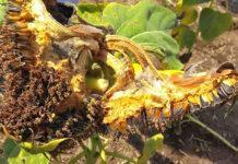 Сіра гниль соняшнику – одна з найбільш шкодочинних хвороб