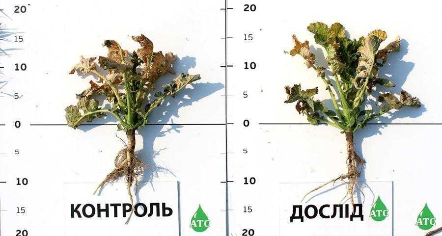 Кіровоградська обл. Стан рослин через 4 дні після внесення