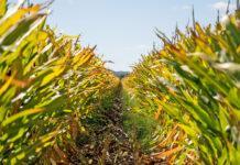 Насінництво кукурудзи у Франції: досвід лідера галузі