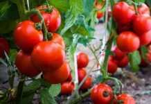 Незвичайний спосіб підвищення урожайності томатів