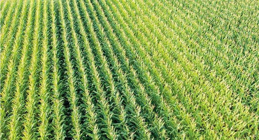 Обсяг доз мінеральних добрив має відповідати потребам кукурудзи з урахуванням кількості наявних компонентів у ґрунті