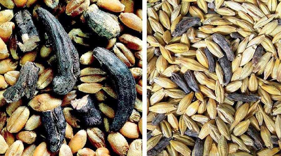 Рис. 2. Всупереч поширеній думці, ріжки часто уражують не тільки жито, а й м'яку пшеницю та ячмінь. На фото зліва – склероції ріжків у зерні м'якої пшениці, на фото справа – в ячмені