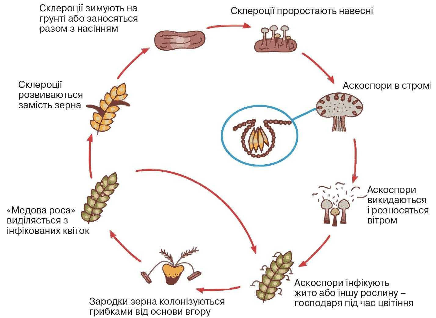 Рис. 4. Цикл розвитку ріжків