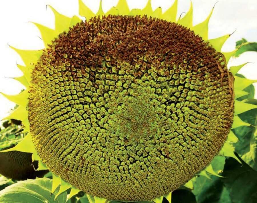 Рис. 4. Типові симптоми Botrytis cinerea на кошику. Зазвичай така картина спостерігається в суху погоду. Зараження кошика відбувається в період цвітіння або відразу після його закінчення. Втрати врожаю завжди значні