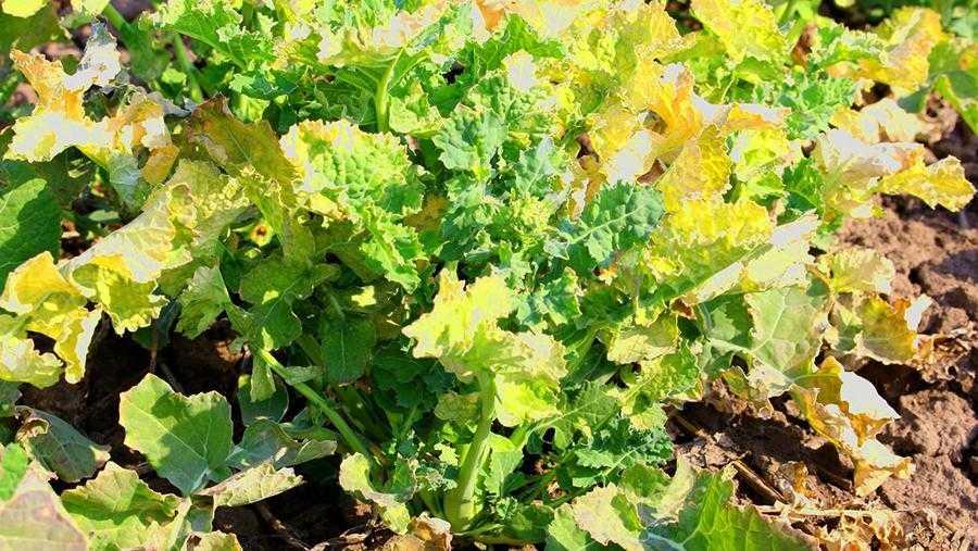 Стан рослин через 4 дні після внесення антистресанту Гуміфілд Форте Аміно