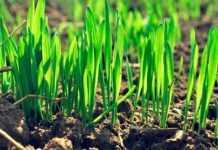 Як за допомогою живлення захистити рослини пшениці від хвороб