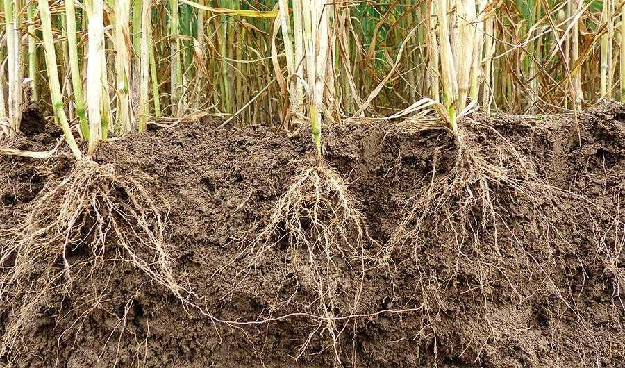 Склад та концентрація солей ґрунтового розчину суттєво впливають на надходження поживних речовин у рослину. Корені рослин спроможні поглинати поживні речовини за їх невеликої концентрації, орієнтовно від 0,03-0,05 до 0,1–0,2%. За концентрації понад 0,2% поглинальна здатність рослиною води та поживних речовин різко сповільнюється