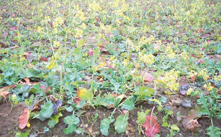 Багато широколистих бур'янів важко контролювати в посівах ріпаку. Особливо це стосується хрестоцвітих