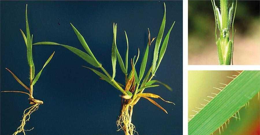 Будучи генетично спорідненими, рослини егілопсу циліндричного на ранніх фазах вегетативного росту дуже подібні за зовнішнім виглядом до рослин пшениці озимої. Єдиною відмінністю є наявність у рослин егілопсу волосків, які простягаються від краю листкової пластини
