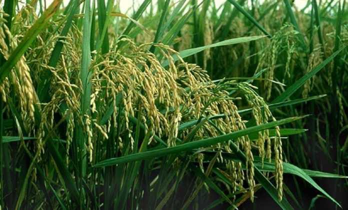 Corteva Agriscience зареєструвала в Україні інноваційний гербіцид для захисту рису Баксіга™