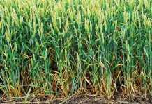 Фази розвитку зернових