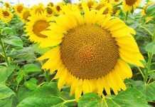 Фунгіцидний захист соняшнику-1