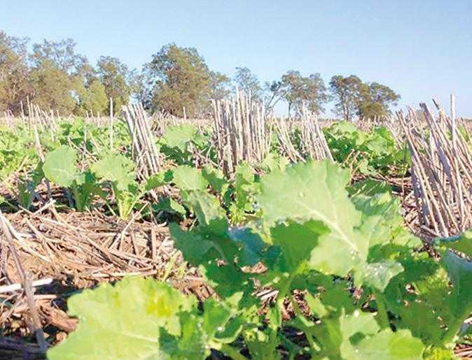 Хороші посіви ріпаку, чисті від бур'янів. Ярий і озимий ріпак дуже вигідні для сівозміни, оскільки сприяють меншому ураженню наступних зернових культур фузаріозом