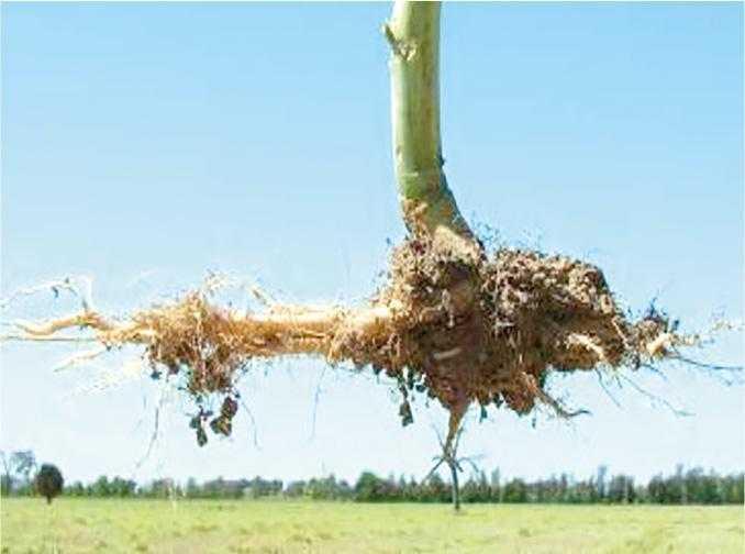 Зустрічаючись із твердим шаром ґрунту або з шаром, що має високу кислотність, корені рослин ріпаку будуть рости горизонтально й набувати вигляду літери J. На хороший урожай при таких посівах розраховувати не варто