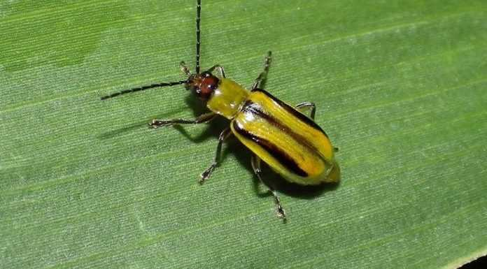 Новий дієвий спосіб боротьби із західним кукурудзяним жуком
