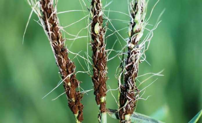 Парова обробка насіння ефективна проти хвороб зернових: дослідження