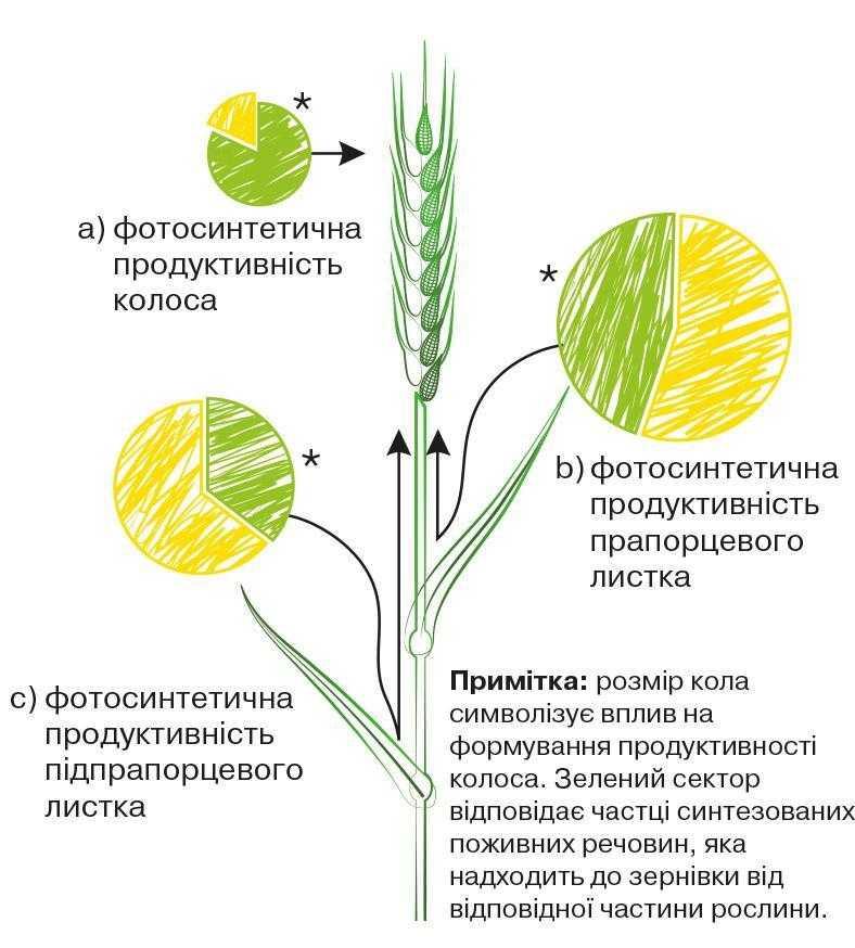 Рис. 3. Біосинтез і перерозподіл асимілянтів у рослинах пшениці під час репродуктивного періоду