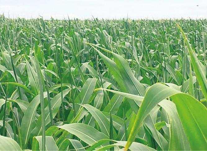 Рис. 4. «Шаблевидність» кукурудзи
