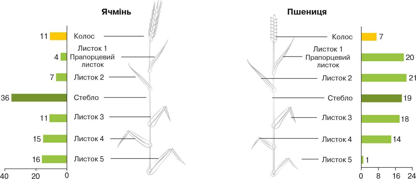 Рис. 6. Розподіл фотосинтетичної поверхні між окремими частинами рослин зернових культур