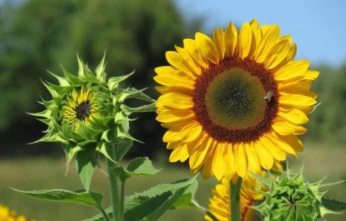 Аналітики прогнозують наступного року рекордний урожай соняшнику