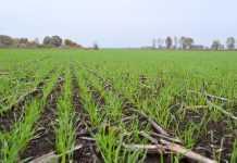 Вплив строку сівби на витрати поживних речовин у рослинах пшениці озимої
