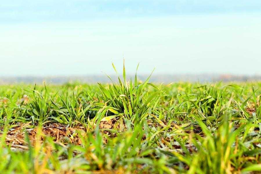 Для протистояння низьким температурам у зимовий період рослини пшениці озимої мають пройти дві фази загартування. Після успішного проходження першої фази рослини можуть витримувати зниження температури на глибині залягання вузла кущення до мінус 11–14°С, по завершенні другої – до мінус 18–20°С