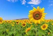 Деякі підсумки виробництва соняшнику в сезоні 2020 року