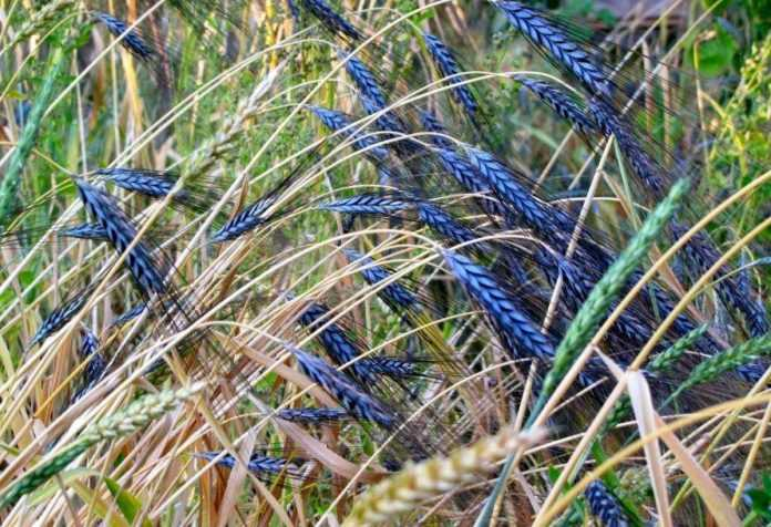 На Хмельниччині збираються вирощувати незвичайну пшеницю