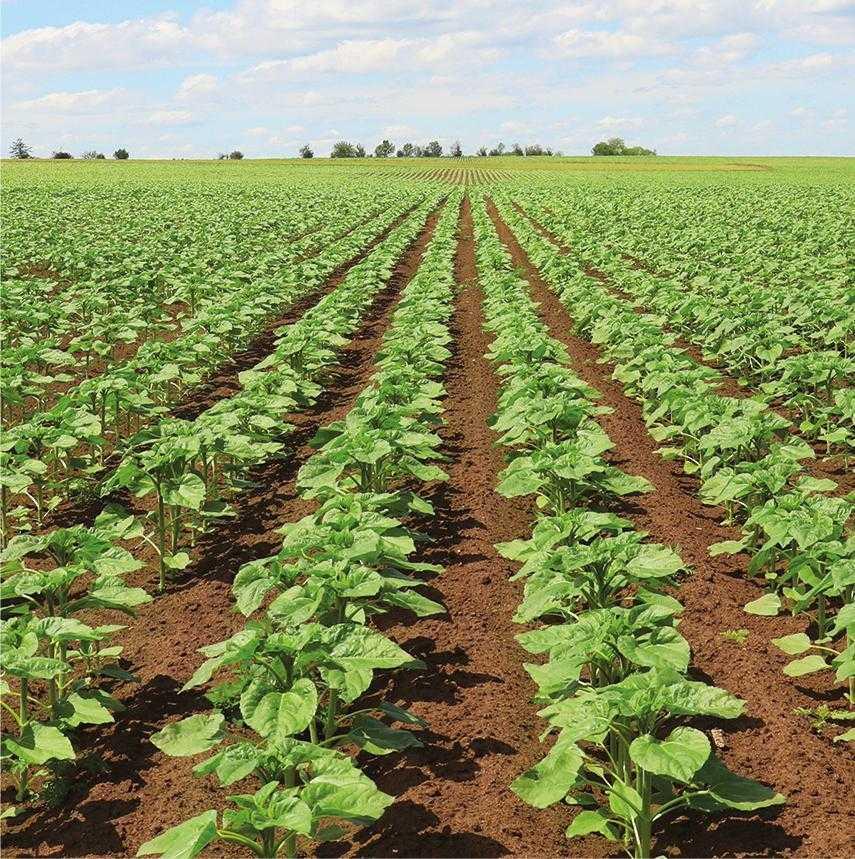 Проведення посівів необхідно здійснювати з густотою, що відповідає вологозабезпеченню в 1 м шару ґрунту