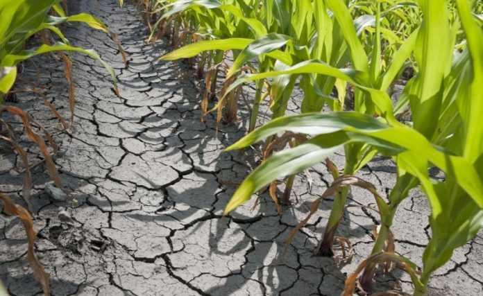 Рослина набирає бактерій, щоб захиститися від посухи