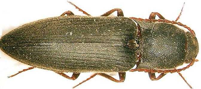 Рис.1. Ковалик степовий (Agriotes gurgistanus Fald.)