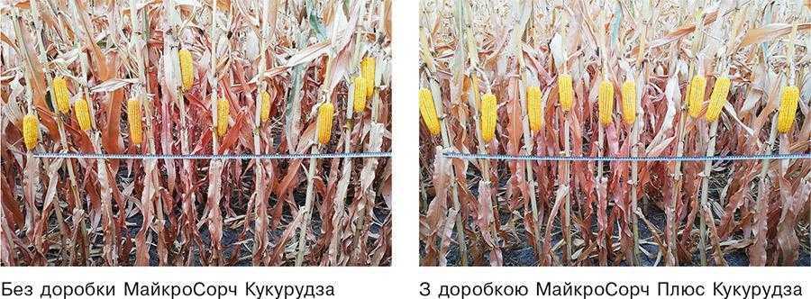 Рис.2. Вплив доробки насіння МайкроСорч Плюс Кукурудза (2,4 кг_т) нарівномірність кріплення качанів на рослинах кукурудзи