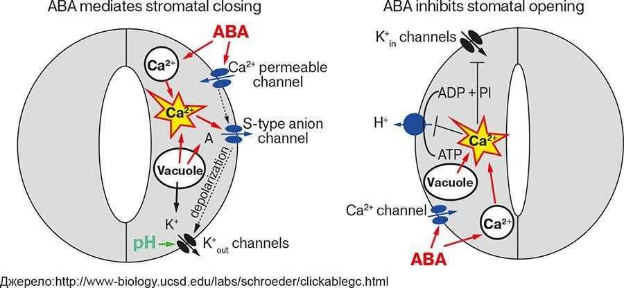 Рис. 3. Схема участі іонних каналів у передачі сигналів АБК