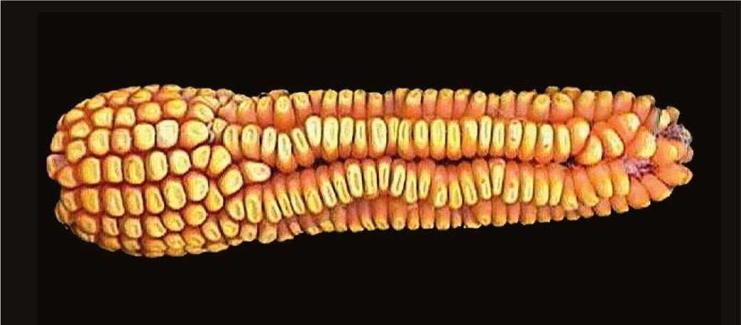 Рис.3. Скидання рядів качаном внаслідок несвоєчасного застосування гербіциду із групи сульфонілсечовин