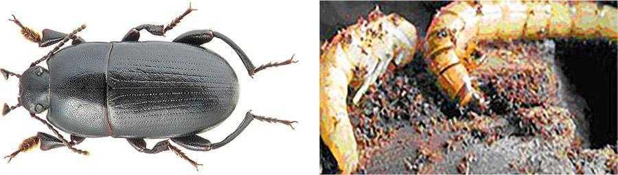 Рис. 4. Кукурудзяна чорнотілка (Pedinus femoralis L.) зліва – імаго; справа – лялечка і личинка, що живе у ґрунті